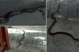 serpi arad